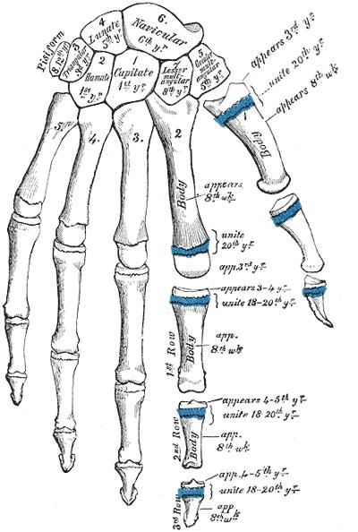 Knochen der Hand